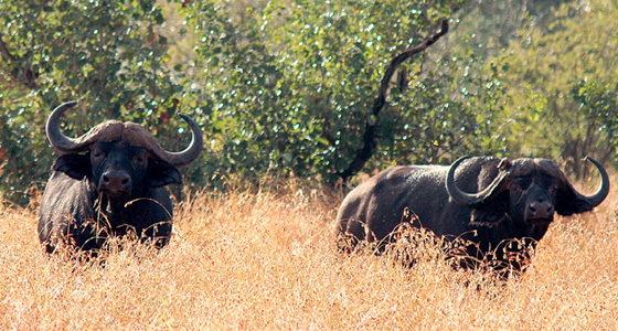 African Buffalo Sighting on Game Drive,Accommodation Bookings for the Pilanesberg Game Reserve for an Safari in a Malaria free, Big Five Game Reserve