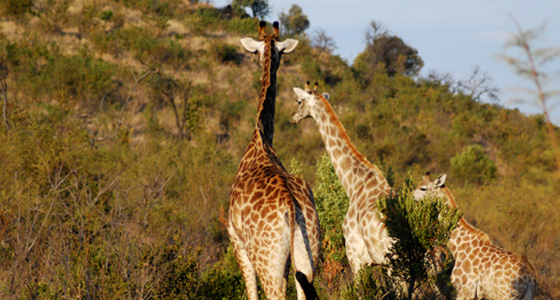 Giraffe Sighting,Accommodation Bookings for the Pilanesberg Game Reserve for an Safari in a Malaria free, Big Five Game Reserve