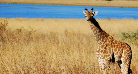 Giraffe Sighting, Accommodation Bookings for the Pilanesberg Game Reserve for an Safari in a Malaria free, Big Five Game Reserve