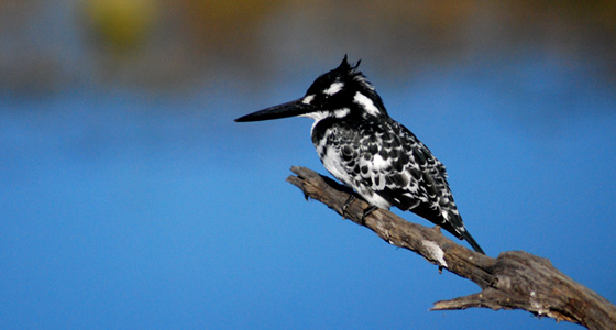 Pied Kingfisher Sighting on Game Drive,Accommodation Bookings for the Pilanesberg Game Reserve for an Safari in a Malaria free, Big Five Game Reserve