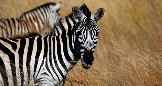 Zebra Grazing,Accommodation Bookings for the Pilanesberg Game Reserve for an Safari in a Malaria free, Big Five Game Reserve