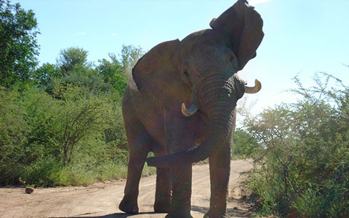 Elephant Sighting Game Drives Big 5 Pilanesberg Private Lodge Pilanesberg Game Reserve Accommodation Bookings Luxury Accommodation