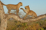 Leopards playing in Tree,Pilanesberg Game Reserve for an Safari in a Big Five Game Reserve