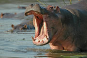 Hippo,Pilanesberg Game Reserve for an Safari in a Big Five Game Reserve